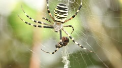 Big Spider in web with prey Stock Footage