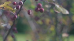 Camera Pans Up Across Budding Berries Stock Footage