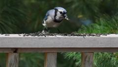 Wildlife: BLUE JAY FRANK EATING SEEDS Stock Footage