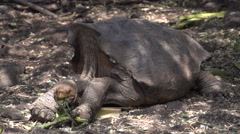 The Galápagos tortoise eating in slow motion, Galapagos Islands, Ecuador Stock Footage