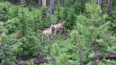 Two Male Elk Walking Through a Forest Path Stock Footage