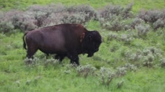 Isolated Bison Walking Through the Prairie Stock Footage