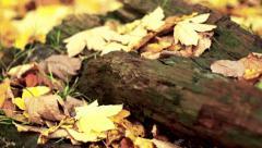 Autumn leaves on a tree stup - stock footage