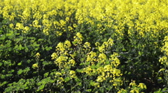 Footage of canola field or rapeseed field in detail Stock Footage