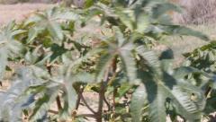 Castor bean plant (Ricinus Communis) Stock Footage