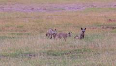 BAT EARED FOX AFRICAN Stock Footage