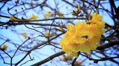 Handroanthus albus Flower, Yellow Ipe  Stock Footage