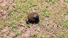 DUNG BEETLE AFRICAN Stock Footage