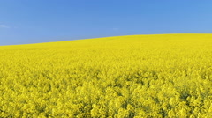 Footage of canola field or rapeseed field under blue sky Stock Footage
