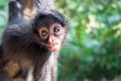 hanging spider monkey - stock photo