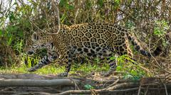 Side view of camouflaged Jaguar in Pantanal walking through the forest Stock Photos