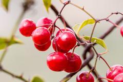 Wild grapes Stock Photos