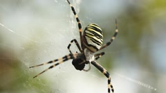Scary spider moving to attack while eating prey. horror Stock Footage