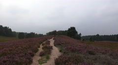 4k Pathway in bloomy Lunenburg Heathland Stock Footage