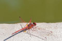Color red dragonfly Stock Photos