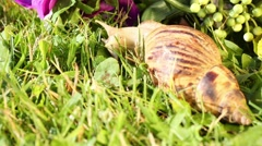 Large snail slowly crawls on grass and male hand removes it - stock footage