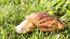 Large snail slowly crawls and eats on green grass at meadow Stock Footage