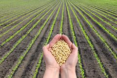 soy bean concept, hands with soy bean crop and field - stock photo