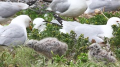 Two young Ring-billed Gull with adults Stock Footage