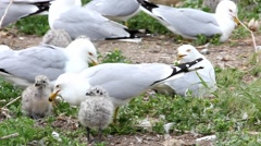 Two Ring-billed Gull chicks with adults Stock Footage