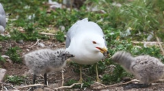 Stock Video Footage of Pair of Ring-billed Gull chicks with parent