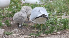 Two Ring-billed Gull chicks with parent Stock Footage