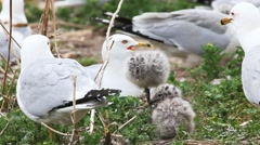 Ring-billed Gull young with adults Stock Footage