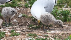 Pair of Ring-billed Gull chicks with adult Stock Footage
