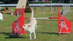 beautiful dog jumping obstacle in agility dog race - stock footage