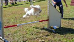 dog agility race, white poodle in action - stock footage