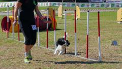 dog agility, weave poles - stock footage