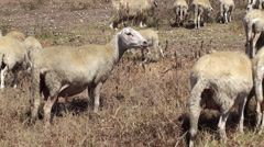 Herd of sheep on a mountain pasture. Sicily, Italy. Stock Footage