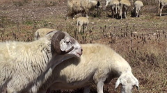 Ram with herd of sheep on a mountain pasture. Stock Footage