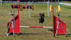 dog agility race, black poodle in action - stock footage