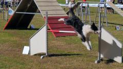 Dog agility race, border collie in action Stock Footage