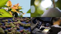 4K Mango Industrial Agriculture Line Stock Footage
