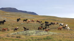 Herd of Icelandic horses Stock Footage