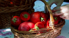 Woman hands arranging fresh tomatoes in a basket, delicious, ripe, homegrown Stock Footage