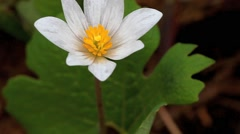 A close view of the beautiful Bloodroot wildflower, Sanguinaria canadensis. - stock footage