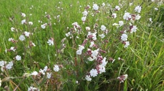 A field of the unusual blossom of the Bladder Campion, Silene vulgaris - stock footage