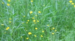 The Common Buttercup, Ranunculus acris. Stock Footage