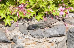 canarian lizard basking - stock photo