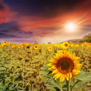 sunflower yellow head on a blur sky background at sunset - stock photo