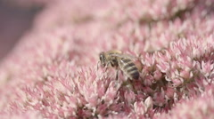 Bee searching for nectar slow motion Stock Footage