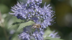 Honey bee on blue flower slow motion Stock Footage