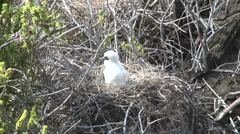 The red-footed booby at Punta Pitt with a baby, San Cristobal Stock Footage