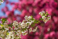 flowers of apple tree blur background - stock photo