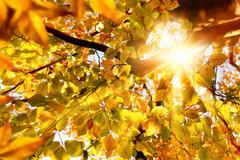 Sun shining through golden leaves Stock Photos