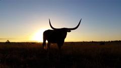 4K Cattle cow farming Texas Longhorn sunset / sunrise landscape Stock Footage