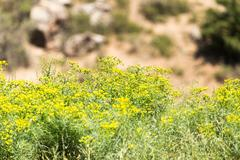 Stock Photo of little yellow flowers on a large shrub